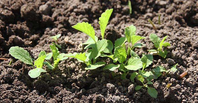 Der er radiser på vej, men de er større i drivtunnelen, hvor der snart kan høstes.