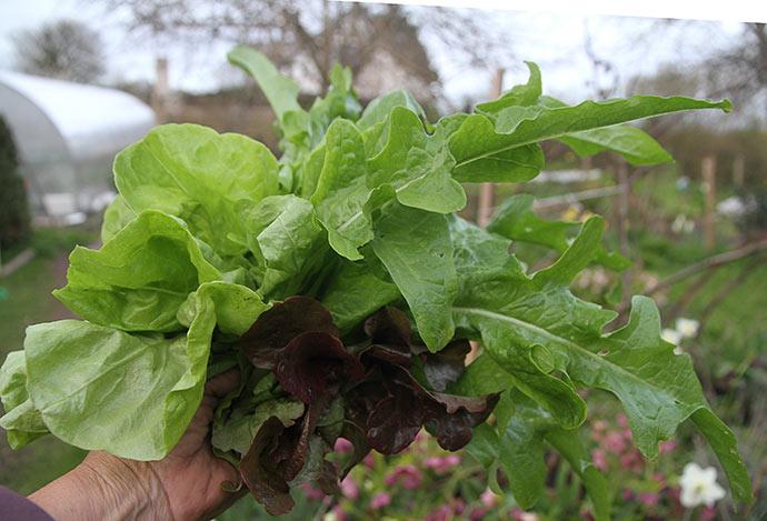 En håndfuld nyplukket salat, som er dyrket i drivtunnelen.