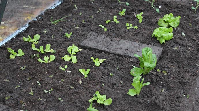 Det er de to store planter tættest på, der er de to netop høstede Little Gem.