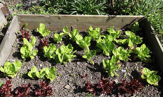 Salaten vokser hurtigt nu,