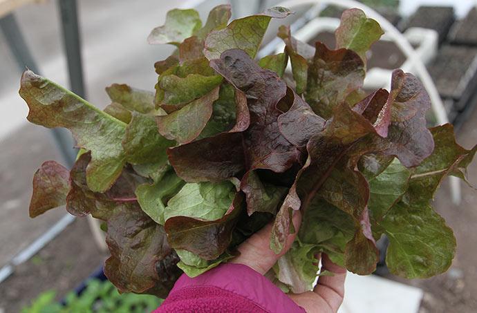 Dagens høst af rød egebladet salat.