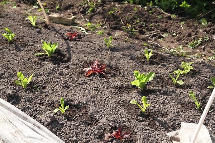 Salatplanterne har fået en gang vand.