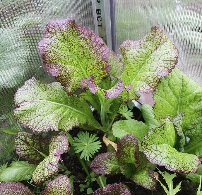 Sennep Red Giant - den har fået lov til at vokse sig stor. De andre er der blevet høste blade af mange gange.