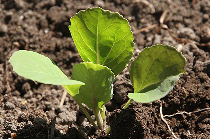 Sommerhvidkålen og spidskålen blev plantet dybere, end de stod i såbakken. Blomkål må ikke plantes dybere.