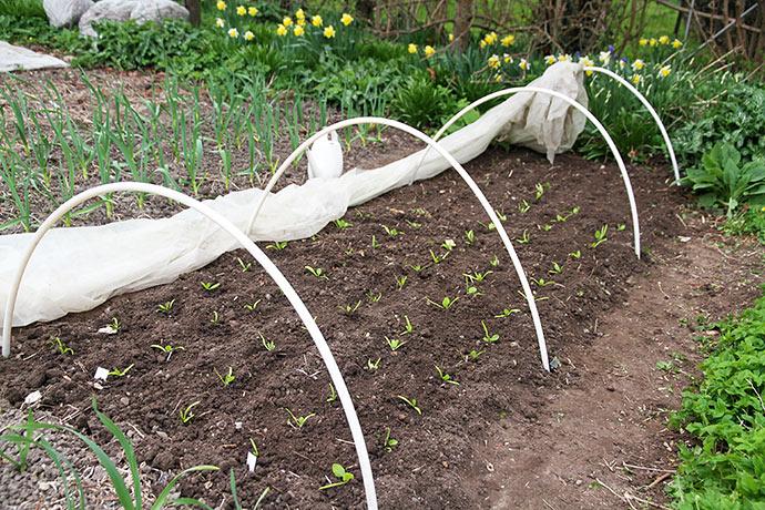 Der blev sat drivtunnel op over spinatbedet, til de har vænnet sig til udelivet.