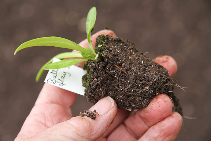 Fin lille plante med fine rødder.