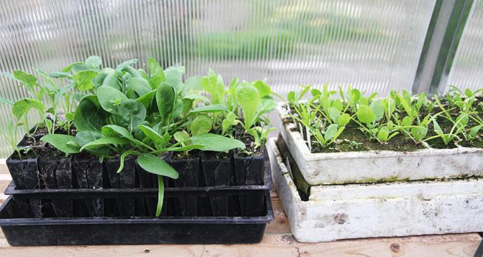 Stor forskel på de to hold spinatplanter.