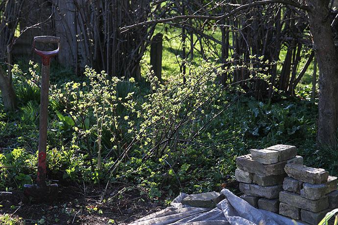 Så er det forår, når stikkelssbærbuske springer ud.