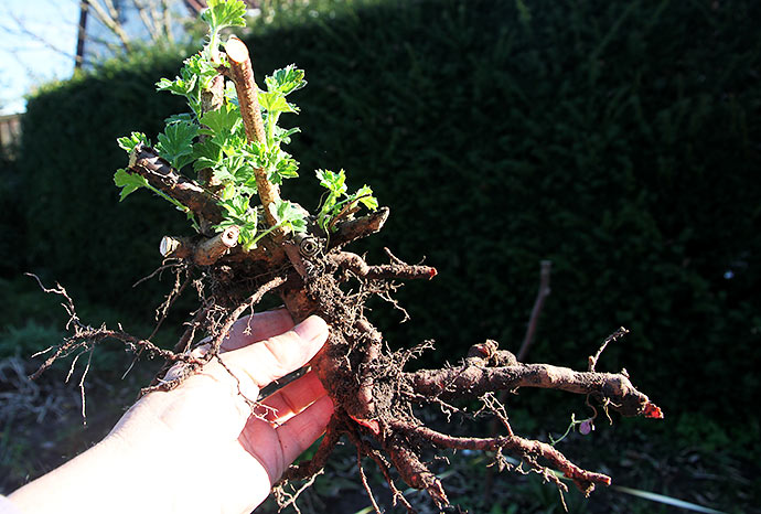 fin lille stikkelsbærbusk, sikkert en gren, der har slået rod.