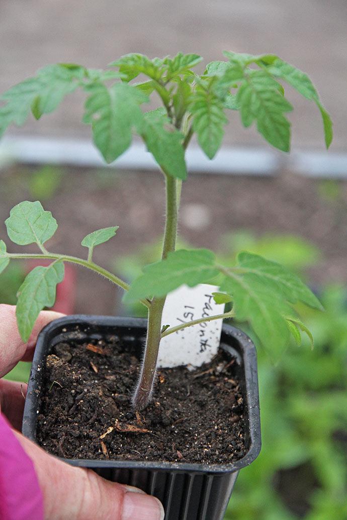 Tomatplanten er en Favorita cherrytomat og rigtig fin og kompakt. Billedkvaliteten er til gengæld elendig.