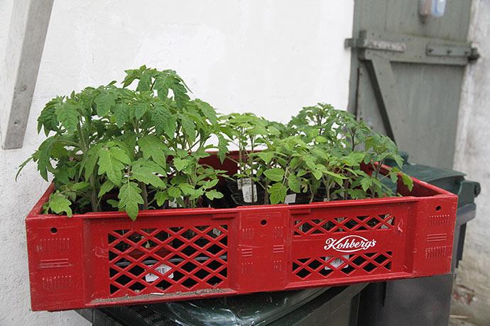 Tomatplanterne på vej ind i varmen her til aften.