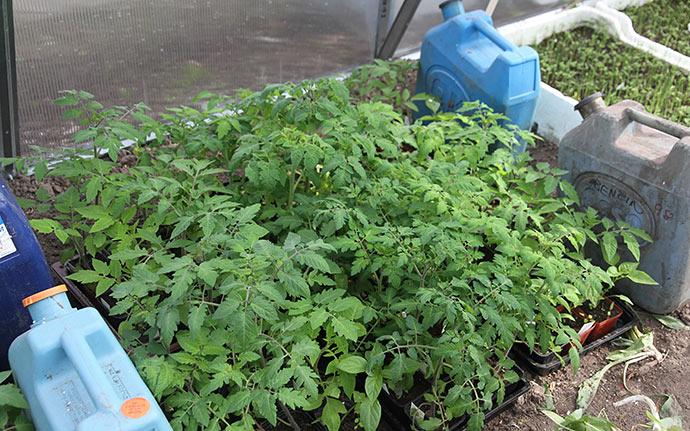 Tomatplanterne vokser godt, og der er knopper at se i mange af dem.