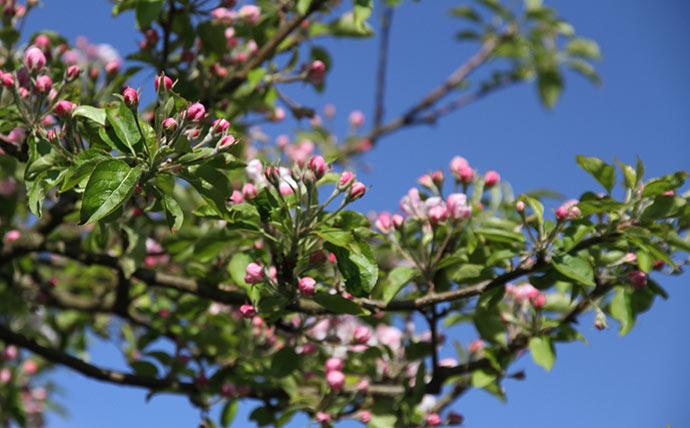 Med så mange blomster bruger træet al for megen energi i år til at udvikle et hav af æbler.