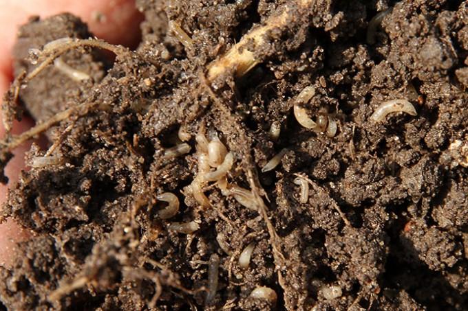 Der er virkelig mange larver lige omkring rødderne på en angrebet plante.