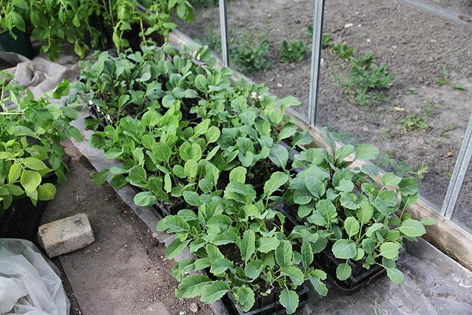 Kålplanterne i glasdrivhuset.
