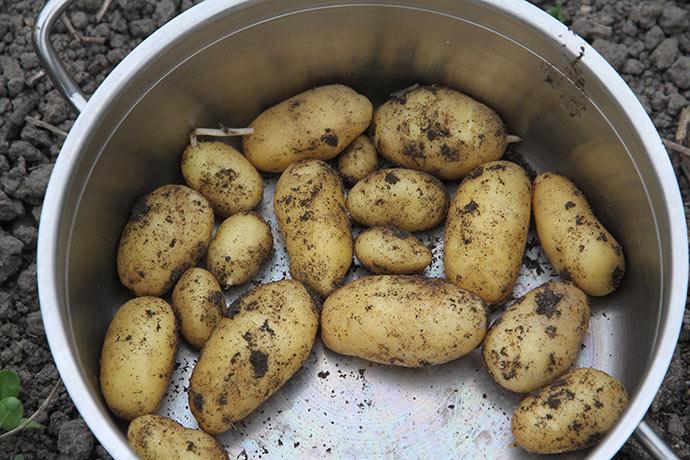 Nye kartofler af sorten Annabelle, som ikke er helt tidlig, men smager helt fantastisk,