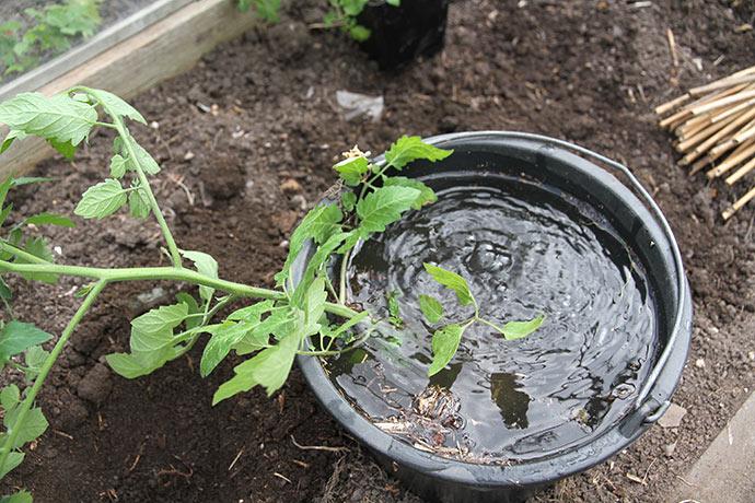 Planten vandmættes.