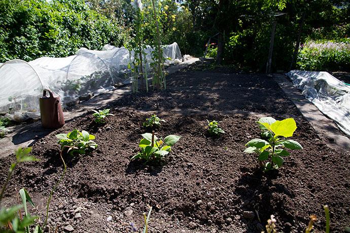 Jeg gravede store huller til planterne for at være sikker på, at jorden er god løs