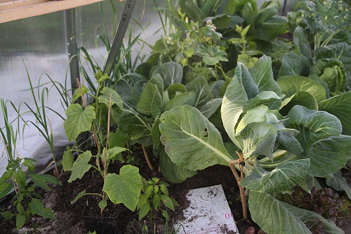 Agurkplanten er plantet, og reserve- agurken står i potten foran.