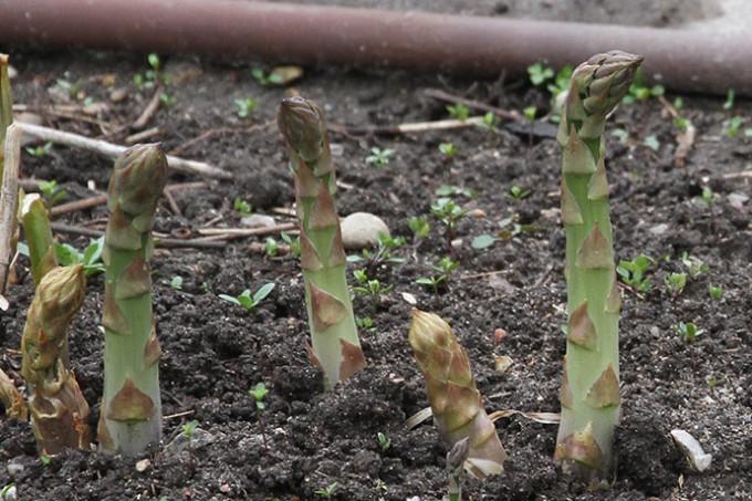 Tykke asparges på vej op.