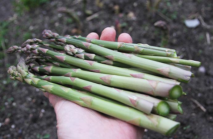 Høst af asparges.