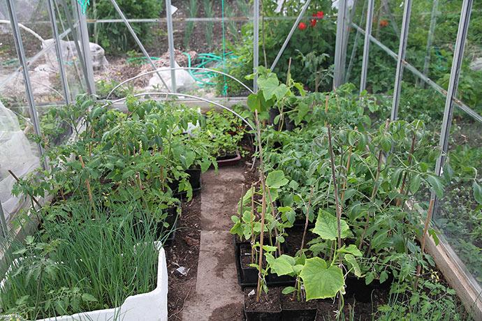 Agurkplanterne endte i drivhuset, hvor den ene skal plantes i morgen.