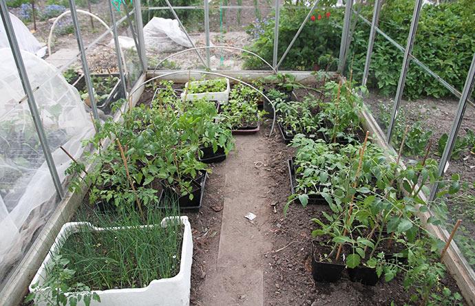 Nu kan man næsten ikke se de udplantede tomatplanter for de andre planter på midlertidigt ophold.