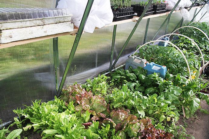 Her er det især salat og spinat, der står ved foden af buerne, hvor det er planten at plante tomatplanterne.