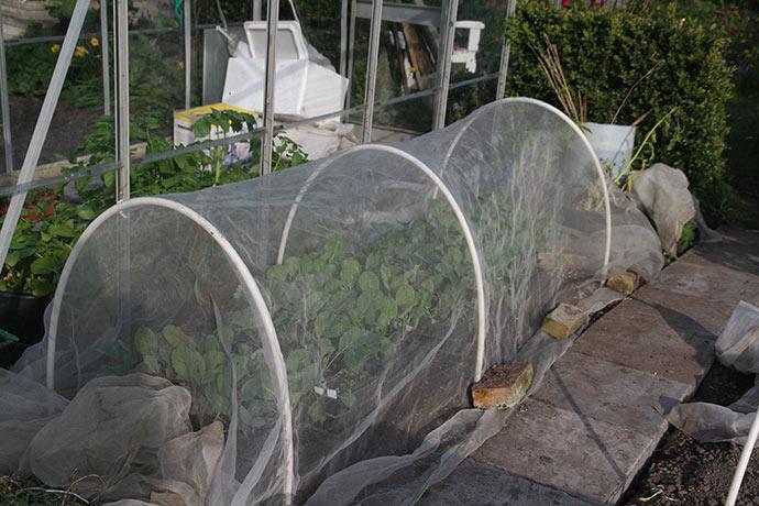 Kålplanterne er sat til afhærdning under bionet.
