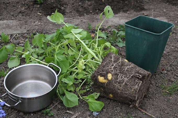 Det er let at pille kartoflerne ud af et rodsystem, som har vokset i en høj og smal potte.
