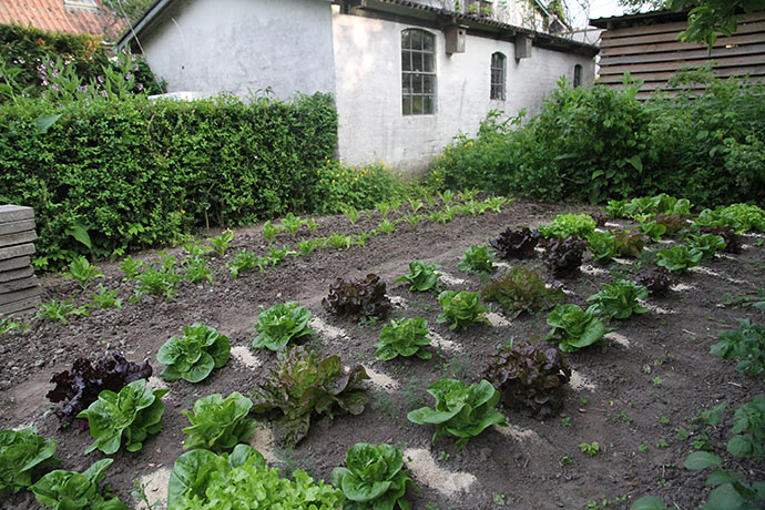 De mange salatplanter er forkultiverede og sået omkring 1. marts.