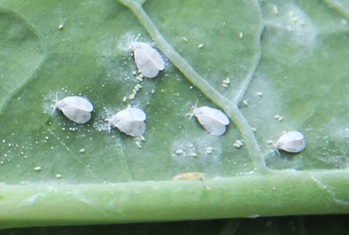 De voksne kålmellus, som lægger æg på bladene.