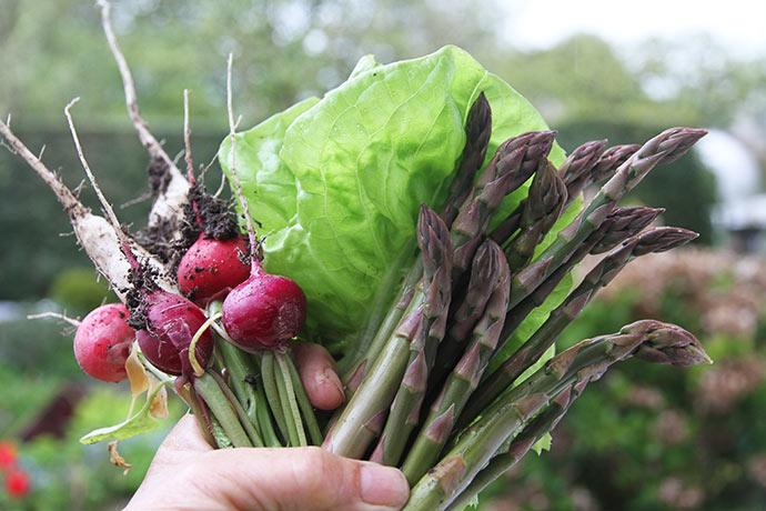 En håndfuld til frokost med asparges, salatblade og pink, lilla og hvide radiser.
