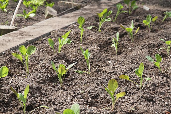 Udplantede rosenkål på det tidligere gulerodsbed. Bemærk den nye flisegang.