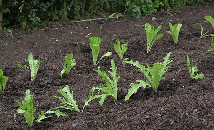 Salatplanter af Little Gem og