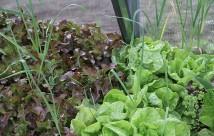 Den her salat skulle give plads for en tomatplante.