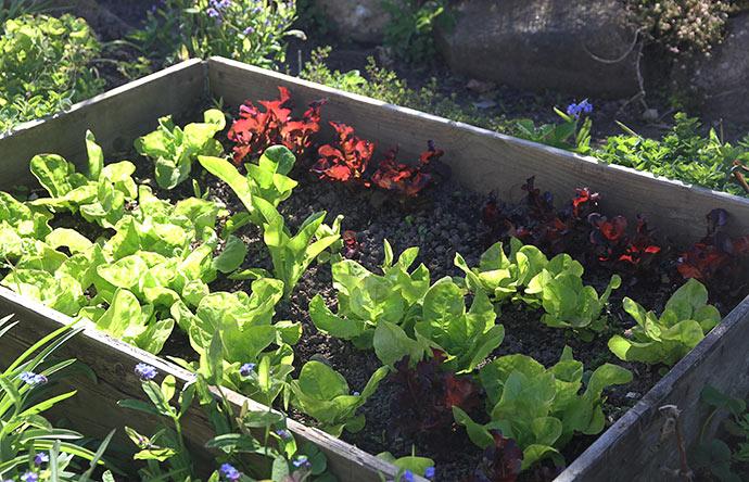 Salaten har været dækket, da der var nattefrost.