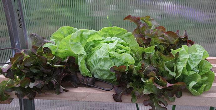 Fin salathøst - salathovedet er May KIng, og det blev til en dejlig mormorsalat med syrnet fløde.