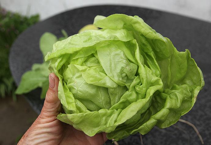 Salathovedet er af sorten May King. Her er det kun det inderste faste hoved.