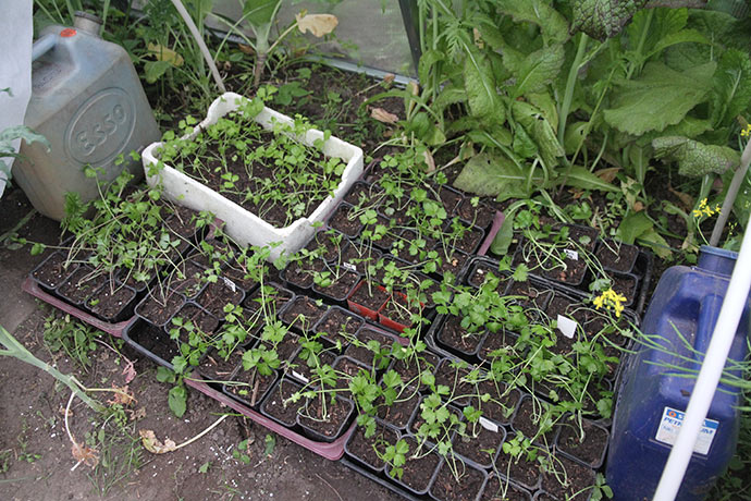 I går blev der pottet selleriplanter - rigeligt. De ligger hen ad jorden - som de skal. Står de op, er de plantet for dybt.