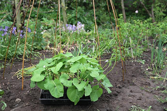 Stangbønnerne skal plantes ud - de er ved at begynde at sno sig.