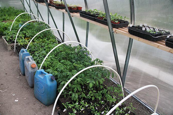 Mange planter af tomat, chili og peberfrugt. Nogle af dem skal med på plantemarked i Købelev på søndag.