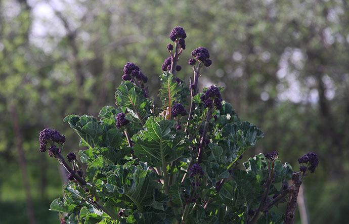Masser af små lilla broccoliskud på vinterbroccoli.