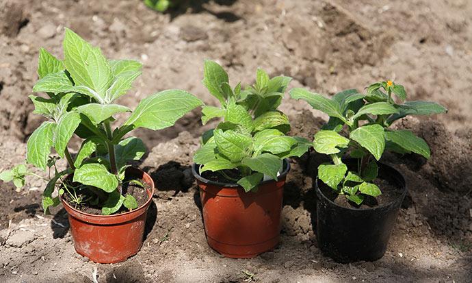 Yaconplanter startet fra kroner midt i april.