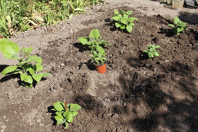 Plantning af yacon