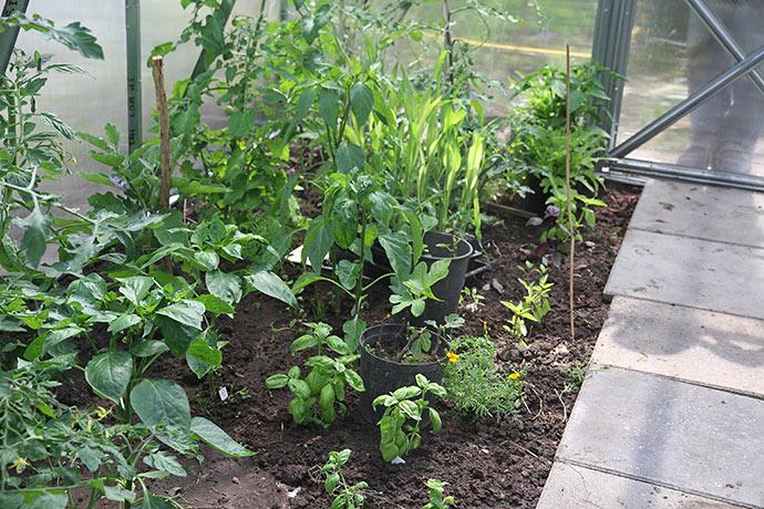 Drivtunnel med peber, chili, tomat, aubergine. Der er også plantet appelsintagetes, som først lige er begyndt at blomstre.