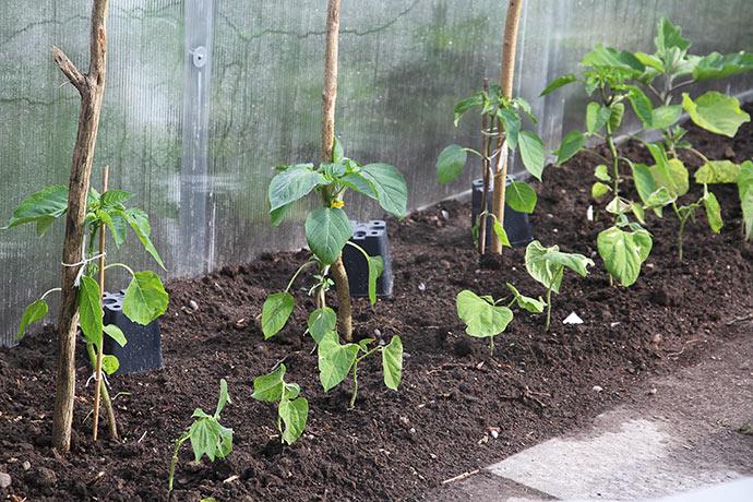 Tomatillo, peberfrugt og bønner plantet udenfor drivtunnelen. Under potterne er der sået høje sukkerærter - potterne beskytter mod duer indtil de spirer.