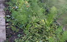Knoldfennikel skal have fugtig jord, så her fik jorden lidt jorddække i dag.