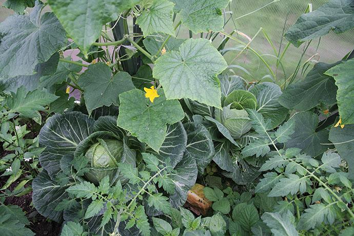 Det store kålhovede til venstre blev høstet i dag - det giver mere plads til agurkplanten.