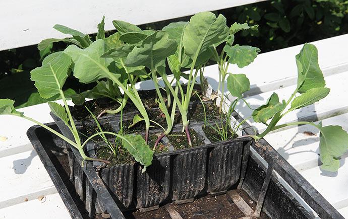 Nyt hold Filderkraut planter klar til udplantning.